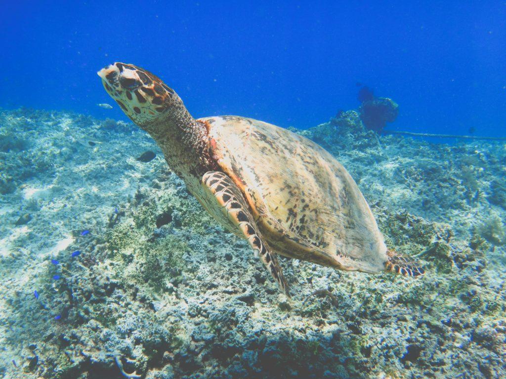 snorkelen-gili-trawangan-zeeschildpad