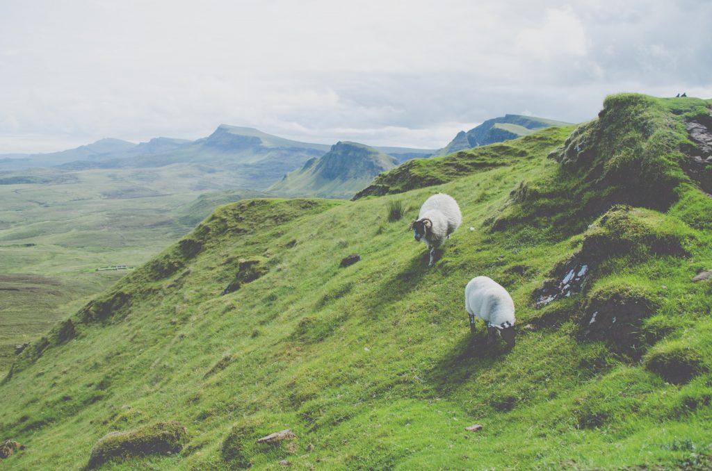 quiraing-schapen