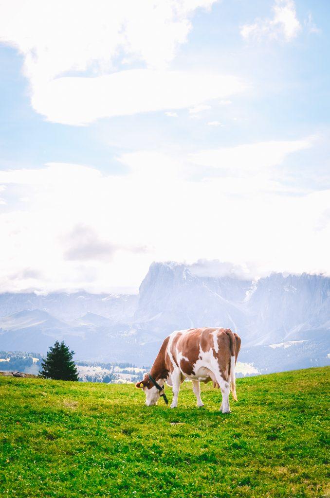 Milka-koe-Zuid-Tirol