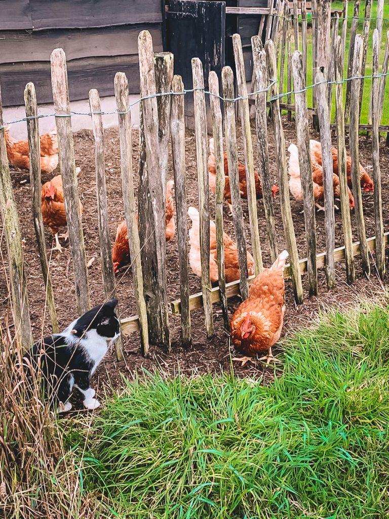 kippen-hoeve-meijer