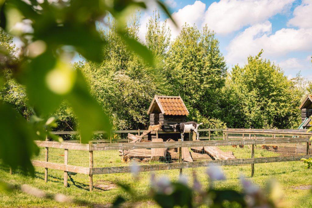 Camping-geitjes-dierenweide-Friesland